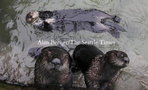 リアルト(写真下左)が仲間のラッコカトマイ(上)、クニクとバンクーバー水族館の水槽で遊んでいる。ラッコたちは水族館で一生を過ごす。リアルトはワシントン州の浜で一人でいるところを発見された。現在、好奇心旺盛に育っている。