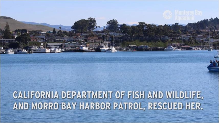 カリフォルニア州魚類野生生物局とモロベイ・ハーバーパトロールがこのラッコを保護し