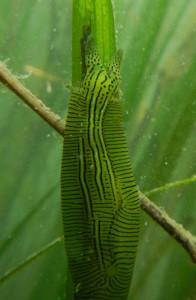 ウミウシの仲間であるPhyllaplysia tayloriは「アマモの野ウサギ」として知られ、アマモの葉の表面に増える藻類を食べる。(Photo by Brent Hughes)
