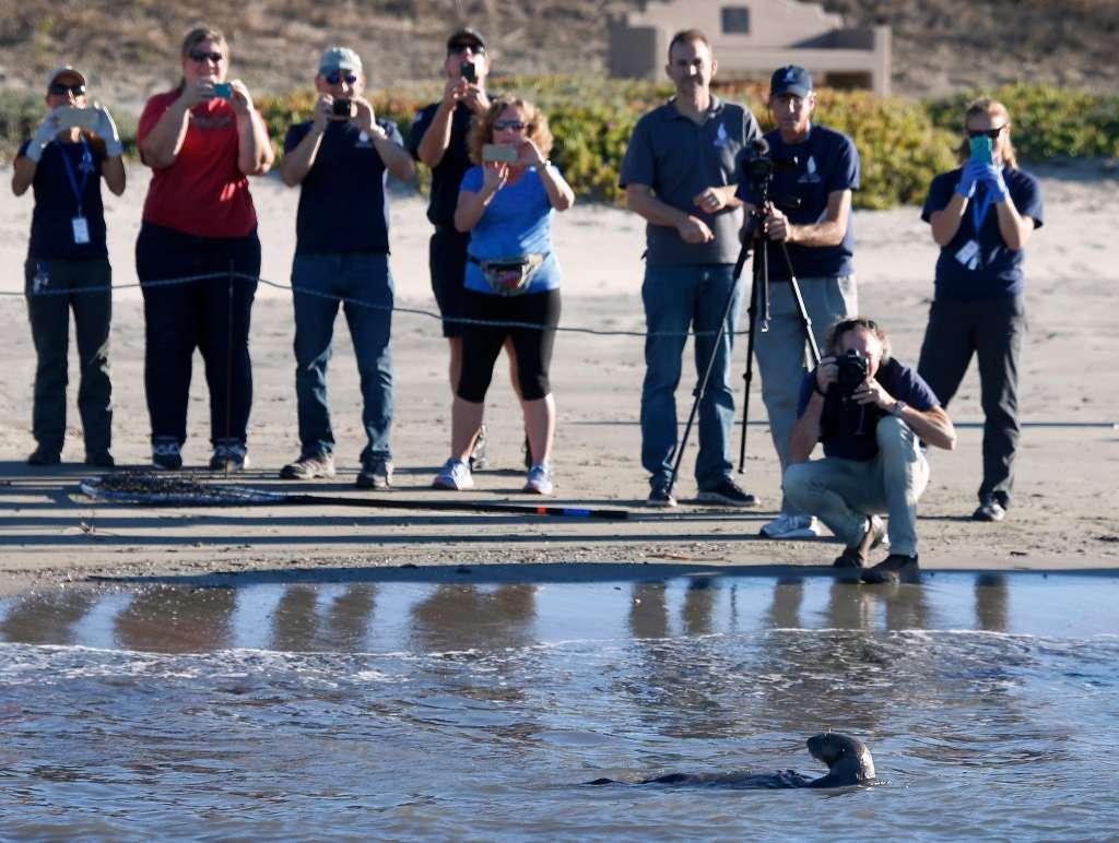2017年10月24日、カリフォルニア州ハーフムーン湾ピラーポイントハーバーでリリースされた後、海洋哺乳類センターのボランティアやスタッフを振り返るヤンキー・ドゥードル。ヤンキー・ドゥードルはドウモイ酸中毒で病気になり保護され、健康を取り戻した。