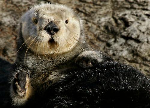 (C) Monterey Bay Aquarium