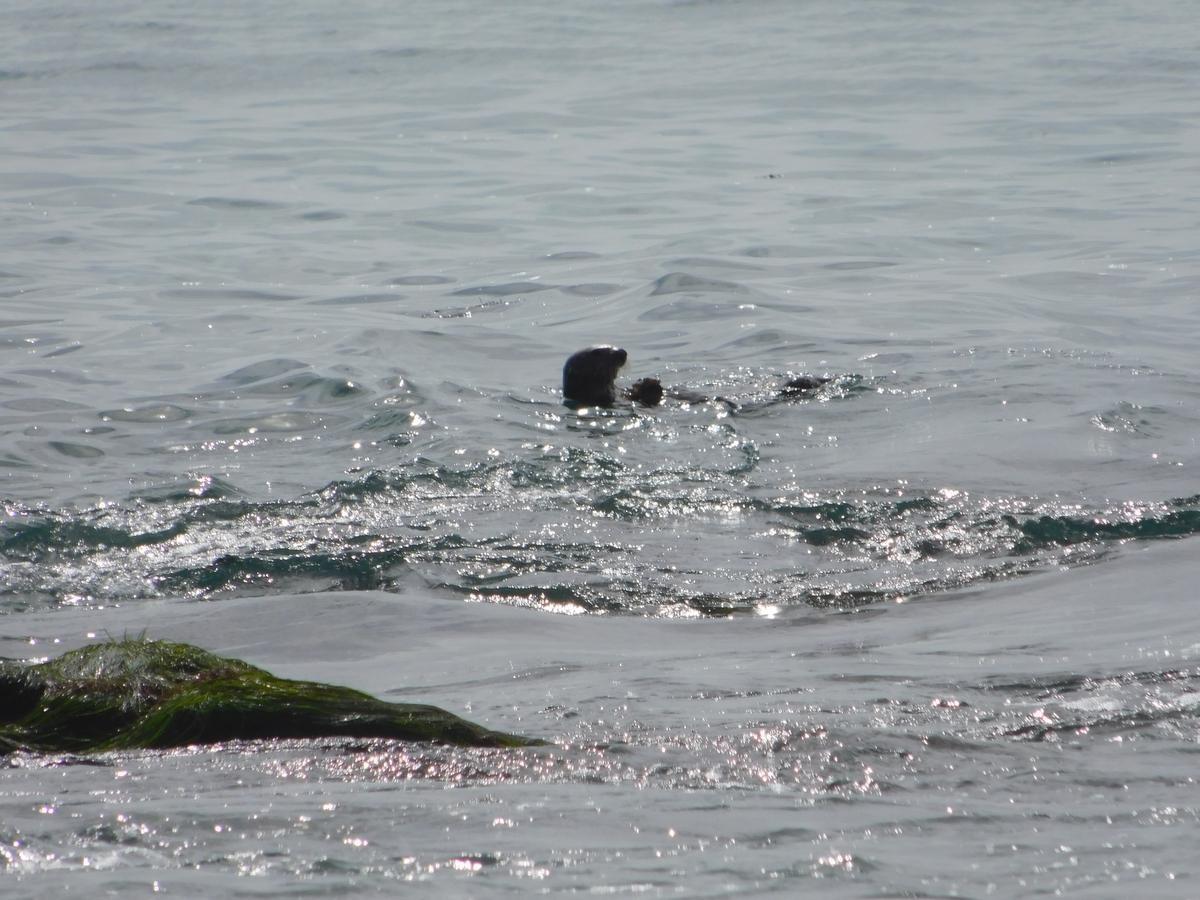 木曜日、クリスタル・コーブ・ステイト・ビーチ近くの海で顔を出すラッコ。この付近でラッコが目撃されるのは非常に珍しい。COURTESY OF HOLLY FLETCHER