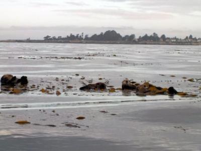 サンタクルーズ沖でケルプに包まるラッコたち (Amber Jones -- Contributed)