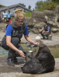 アシスタント哺乳類キュレーターのブリタニー・ブレイズが展示水槽でジャッジのトレーニングを行っている