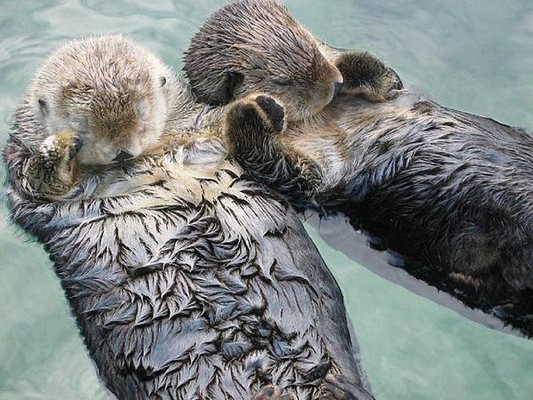 記事ラッコはなぜ手をたたくの Curious Kids Why Do Sea Otters