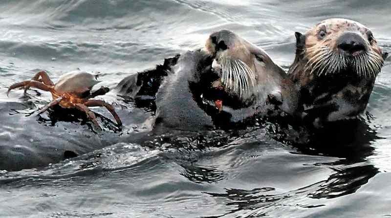 1組のラッコがウエスト・クリフ沖で朝食に地元のカニをとっている。(Shmuel Thaler - Santa Cruz Sentinel file)