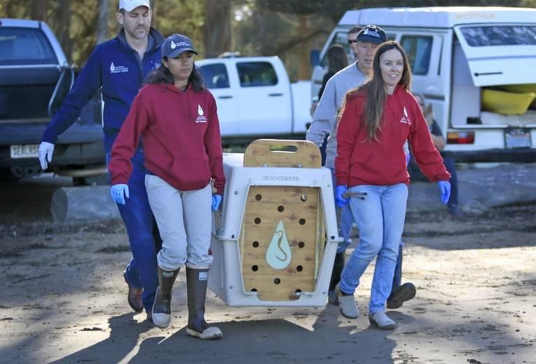 海洋哺乳類センターが3か月間サウサリートでラッコのオットーのリハビリをしたのち、2017年9月22日金曜日、モロ湾へリリースした。写真はショーン・ジョンソン博士、スタッフアシスタントのアリア・メザ、ボランティアのジム・メントゲンとサンルイスオビスポ郡おぺーレーションマネージャーのダイアン・クレーマーがオットーをモロ湾自然史博物館近くのリリース場所へ運んでいる。