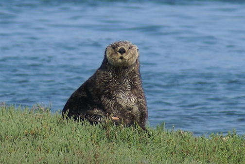 Elkhorn Slough is home to vital wetlands and cute animal life