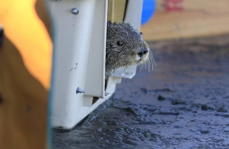 2017年9月22日、オットーがモロ湾にリリースされた際、恐る恐るケージから出てきたところ。サウサリートの海洋哺乳類センターが3か月間、ドウモイ酸中毒のリハビリを行った。