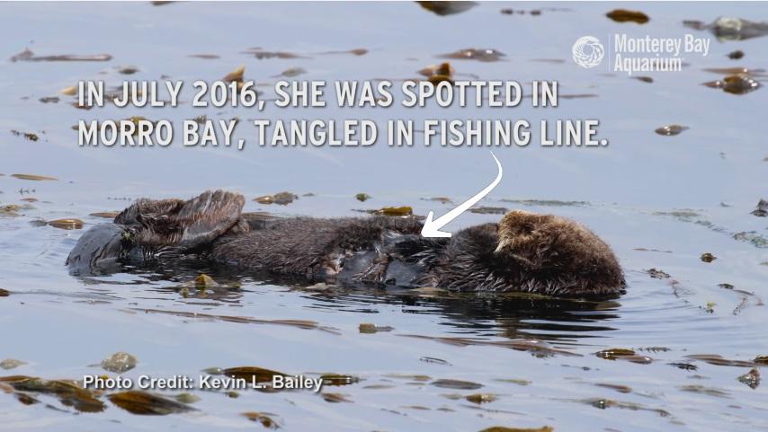 2016年7月、このメスのラッコはモロベイで釣り糸に絡まっているところを目撃された