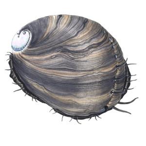 黒アワビ(Haliotis cracherodii)のイラスト © Monterey Bay Aquarium