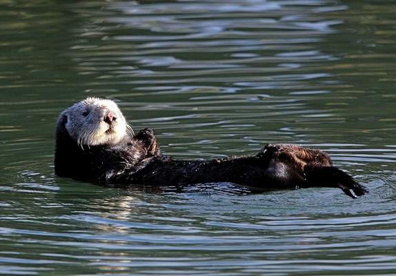 モスランディングハーバーに浮かぶラッコ (Vern Fisher -- Monterey Herald file)