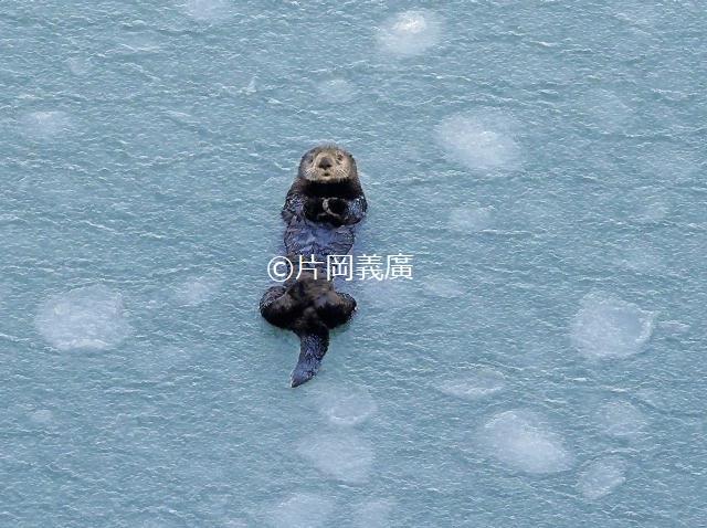 蓮葉氷と呼ばれる円盤状の氷の中に浮かぶラッコ。