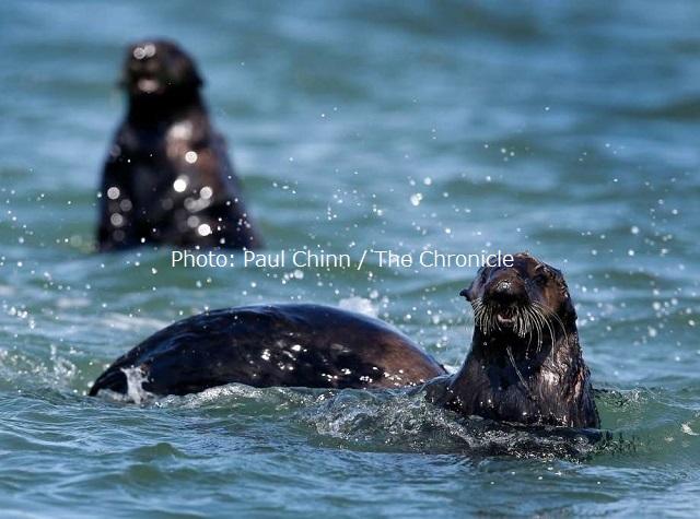 エルクホーン湿地帯で戯れるラッコたち。モントレーベイ水族館のプログラムによって回復しつつある。