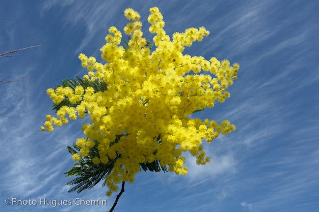 Mimosas en février et mars