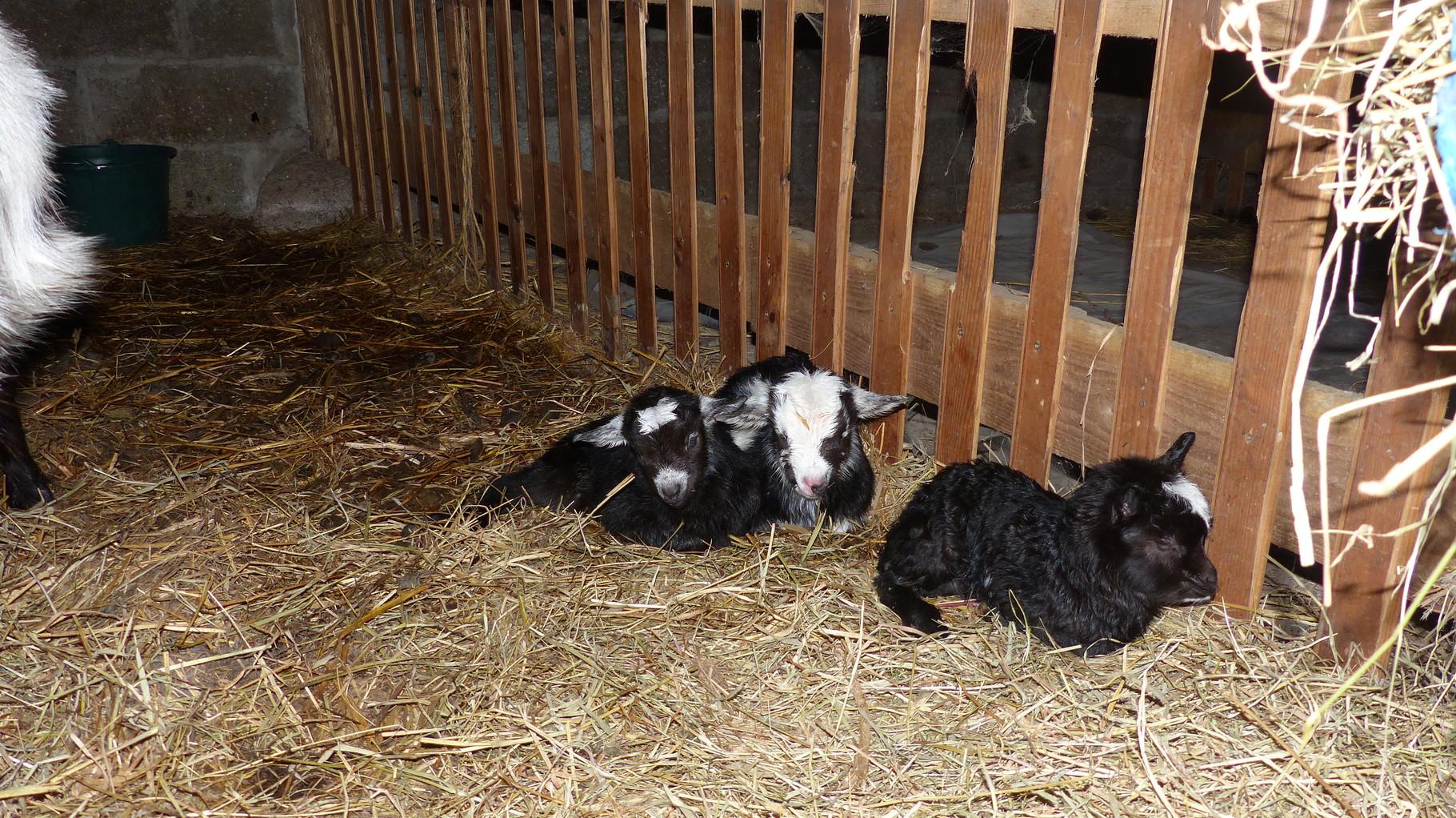 Galante et ses 3 petits le 06 mars 2015