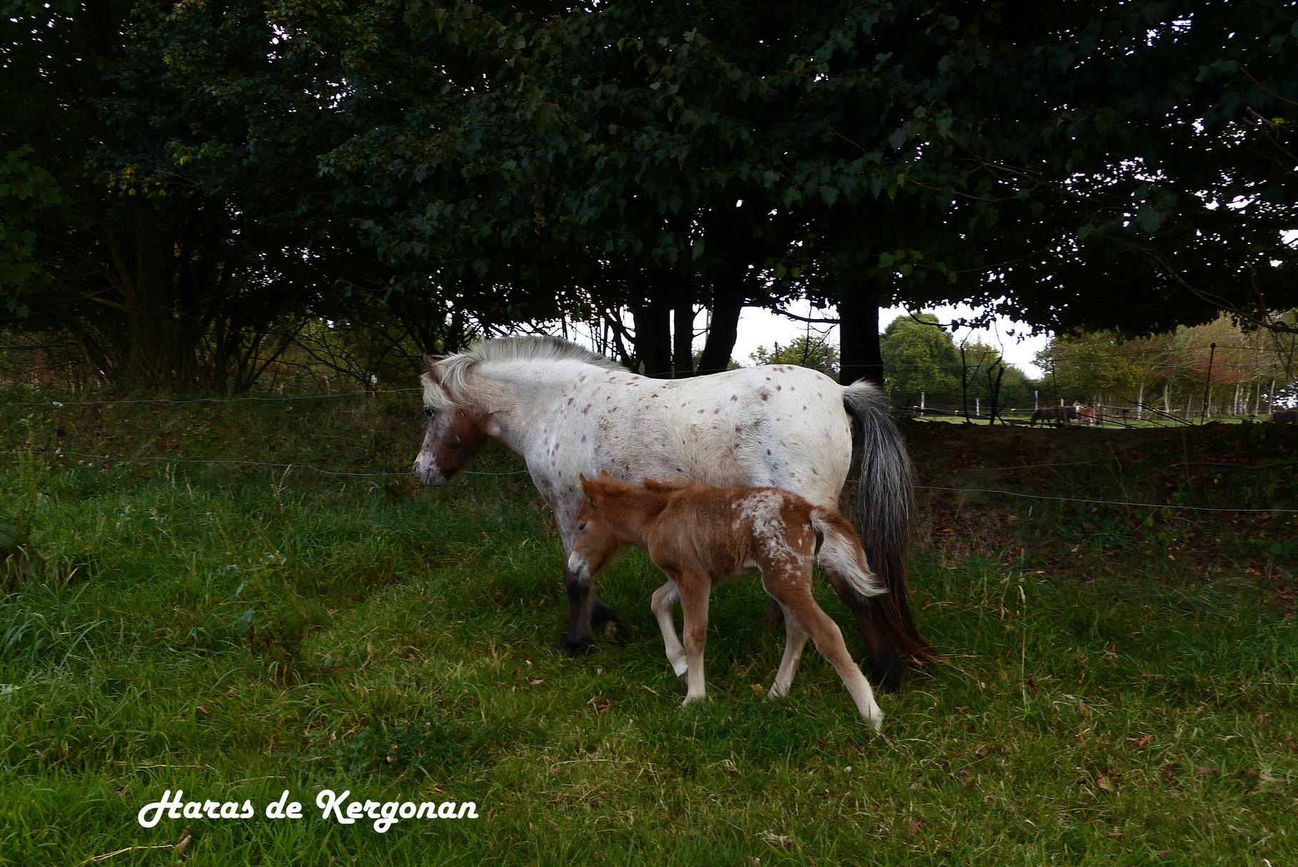 30/09/2014 : le poulain suit bien sa maman au pas après 21 heures de vie