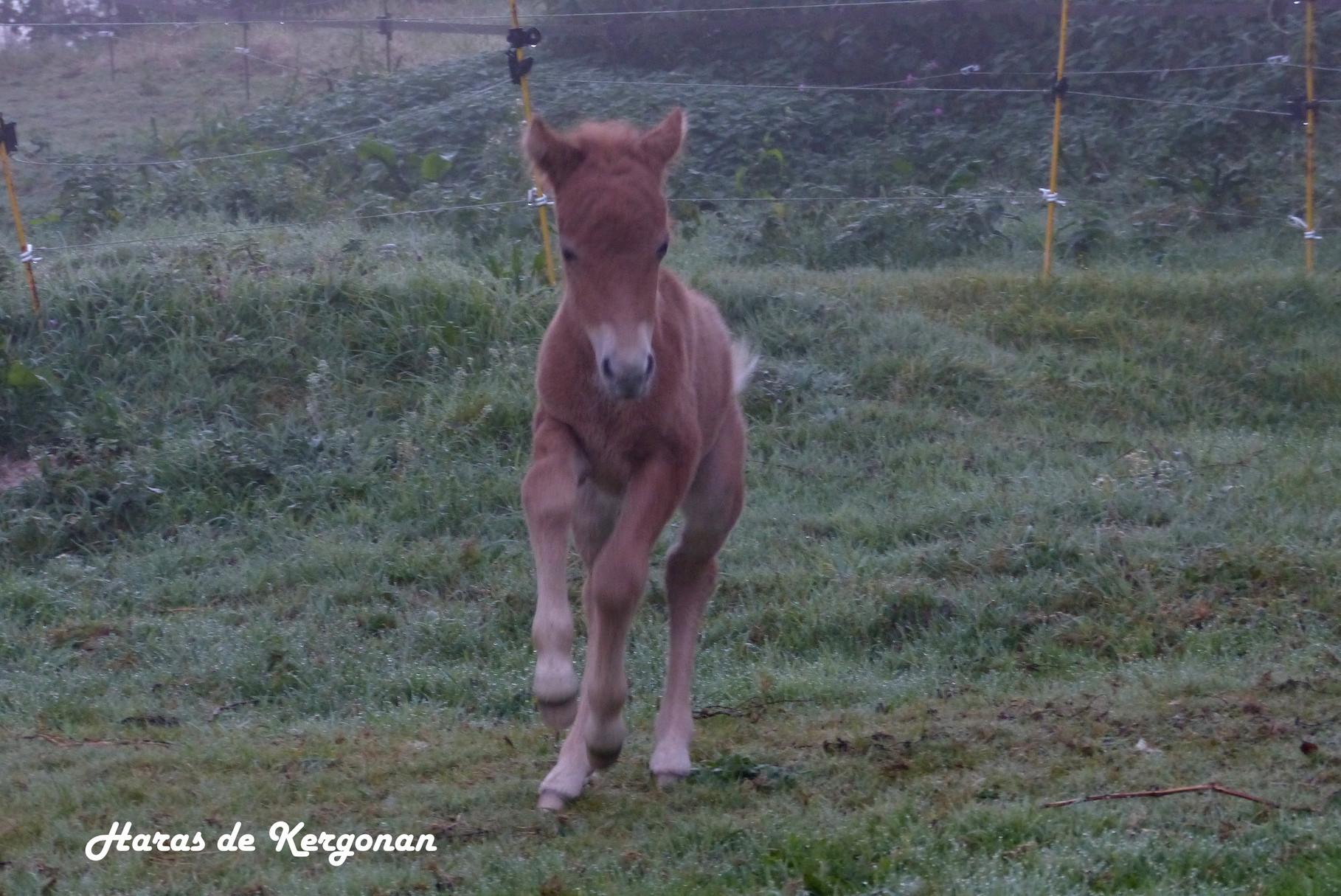 30/09/2014 : le poulain débute ses galopades dans la brume