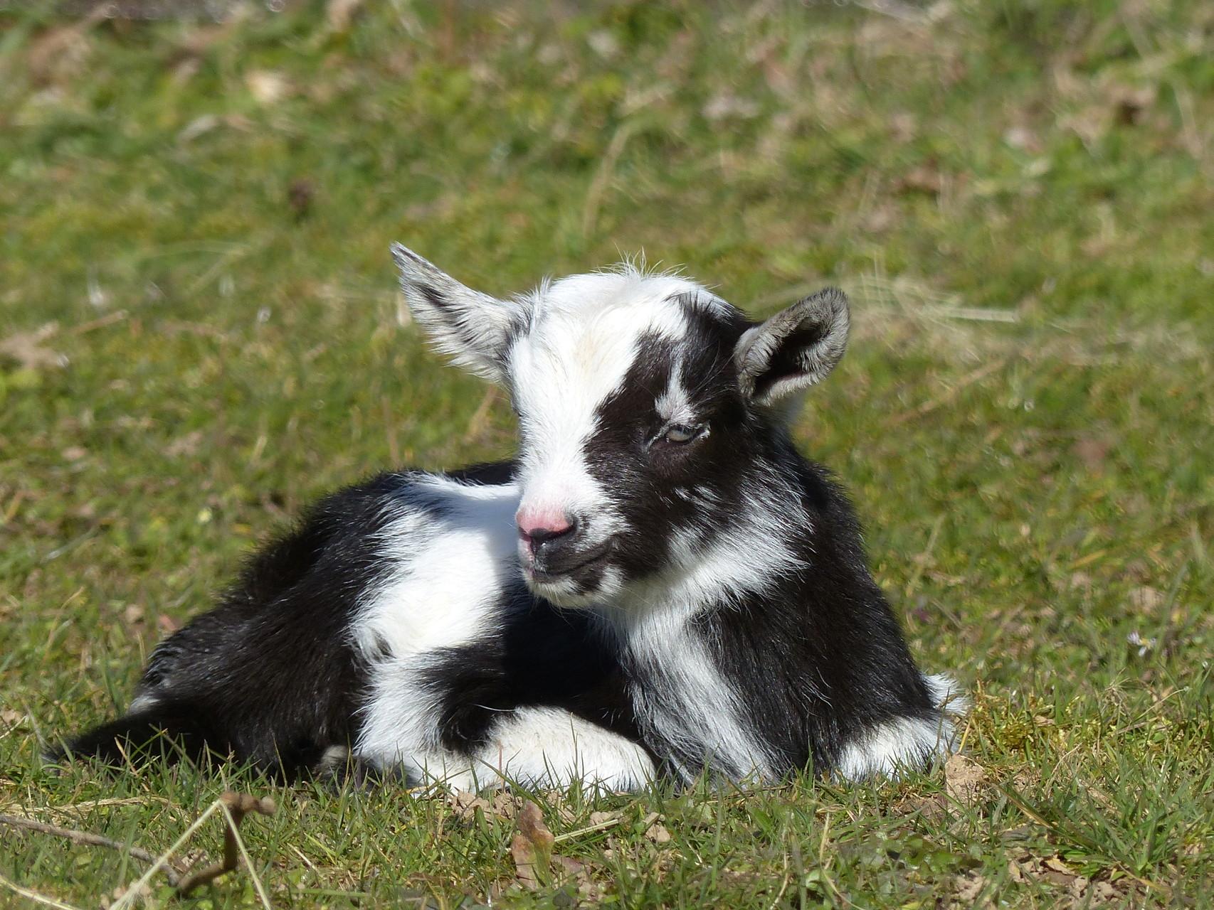 Lebeaugosse, petit mâle - le 07 mars 2015