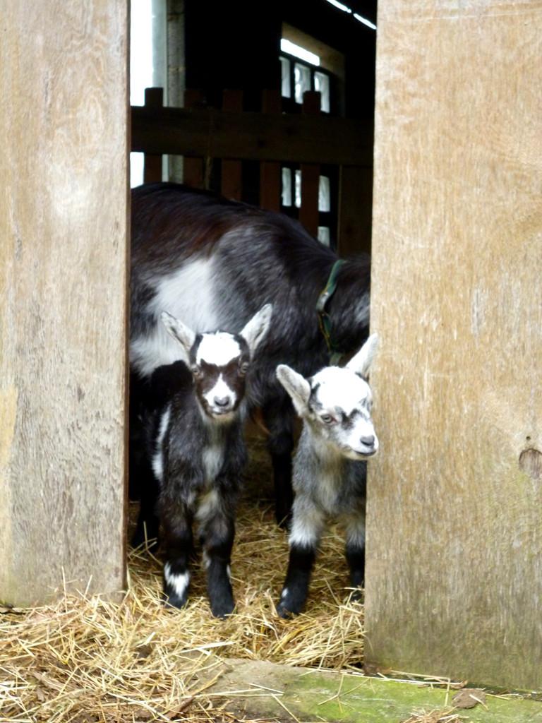 Ida et Indie de Kergonan avec leur mère Galante - 1ère sortie