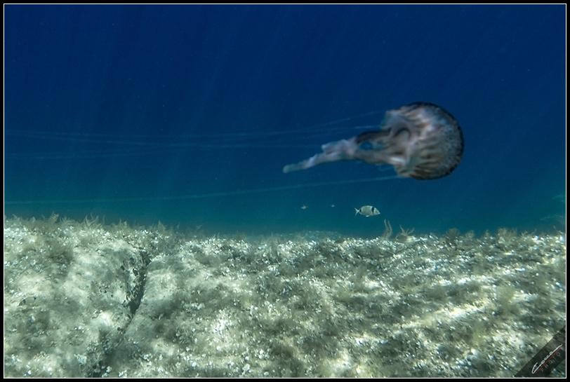 Medusa - Fondali di La Maddalena