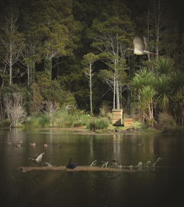 湿地の上を飛ぶククパ(モリバト)。後ろに巣箱があるのがわかる。