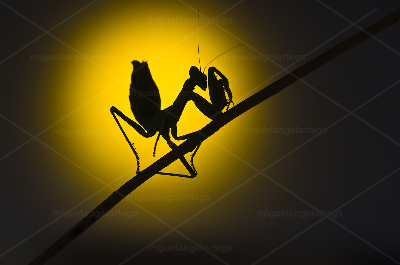 Mantis a contraluz