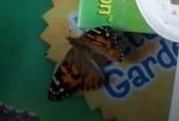 Emergence de deux papillons