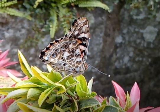 Mise en liberté des 4 premiers papillons et dernière émergence