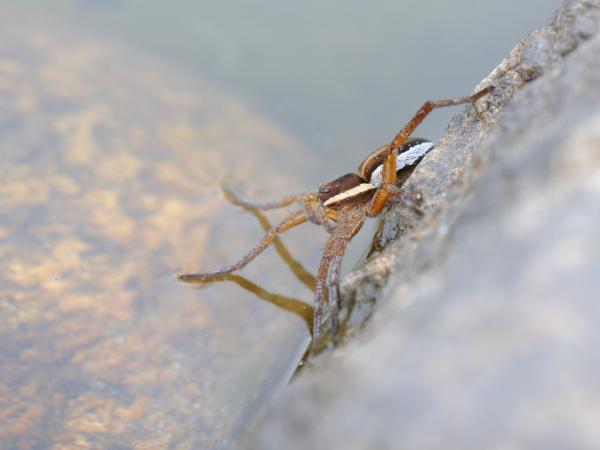 Bei der Jagd erspürt sie mit ihren Vorderbeinen selbst feinste Wasserbewegungen.
