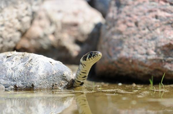 Ringelnatter auf der Jagd nach Knoblauchkröten-Kaulquappen