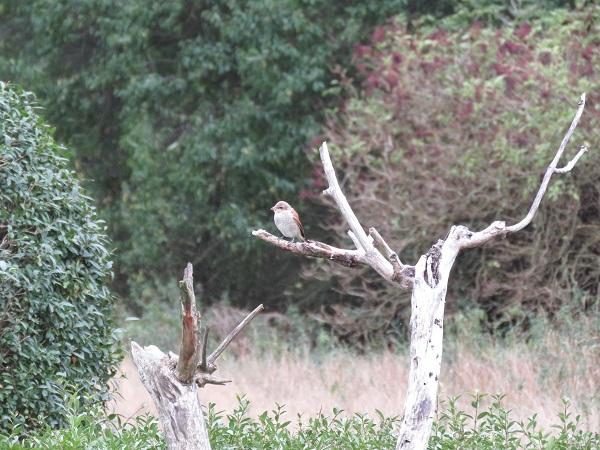 Neuntöter auf Totholz im Naturgarten