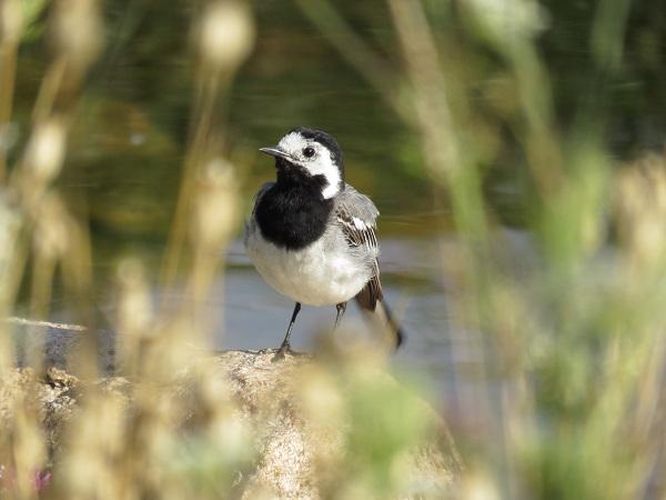 Bachstelzen (Motacilla alba) suchen am Teich gerne nach Futter.