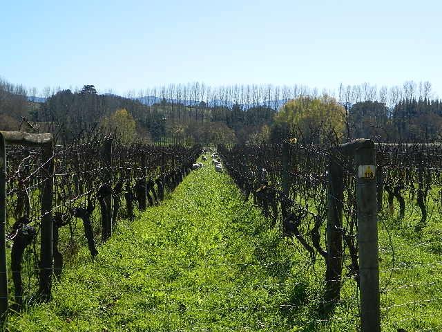 Vineyard/ 郊外にはワイン用のぶどう畑がたくさん