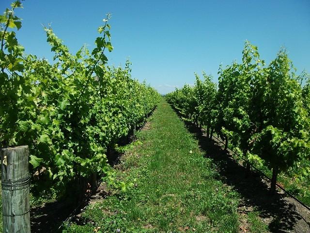 近くのワイン生産用ブドウ畑