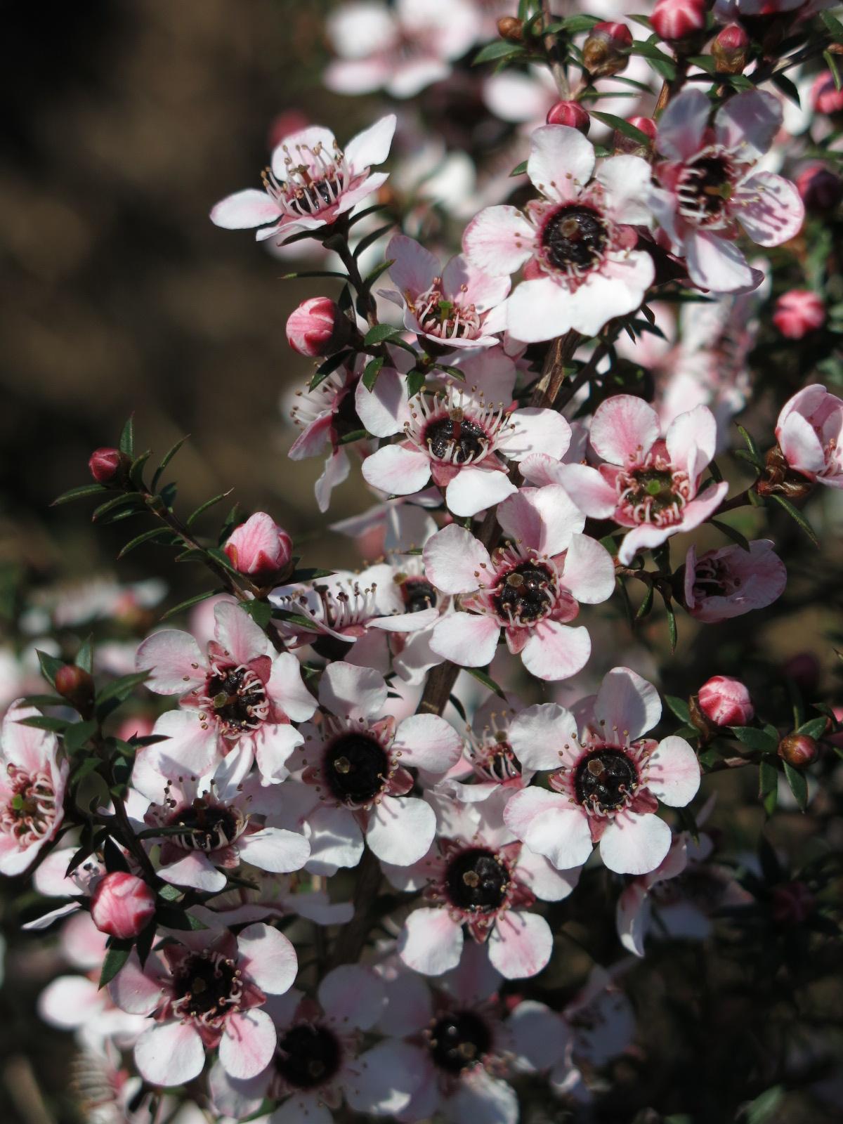 Manuka Flower マヌカの花
