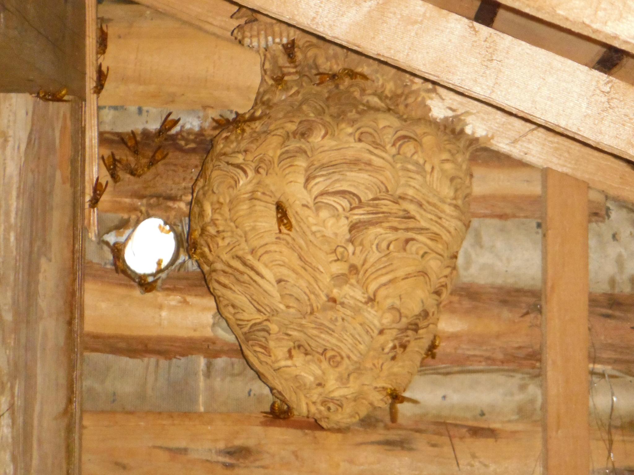 キイロスズメバチ 屋根裏営巣