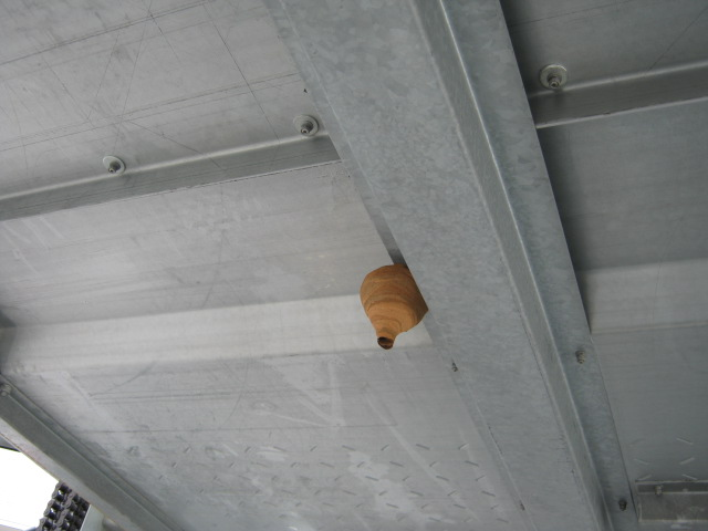 スズメバチ 初期の巣