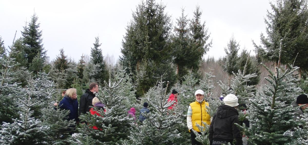Weihnachtsbaum Selber Schneiden.Natürliche Christbäume Aus Bronnen Christbaum Stempfel