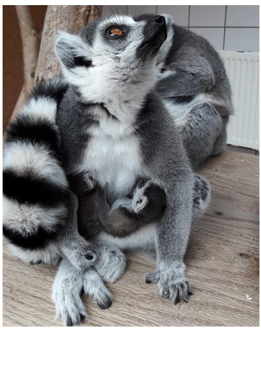Katta Zwillinge im Affen-Zoo Jocksdorf!