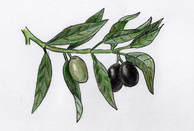 Olea europaea - Zweig vom Olivenbaum, mit Buntstift gezeichnet - by develloppa