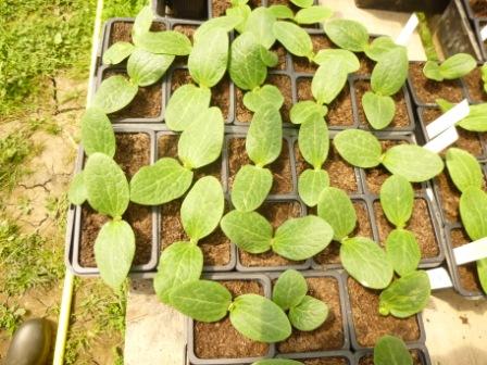 Plants de concombres