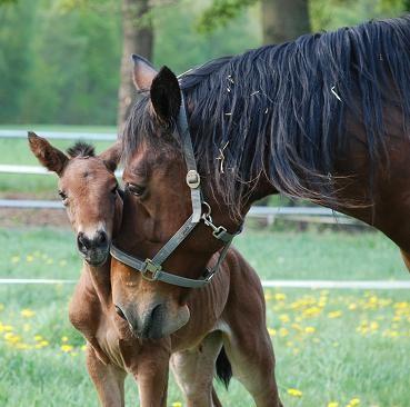 Rommi mit ihrem letzten Fohlen Carla am Tag der Geburt ( 29.04.11 )
