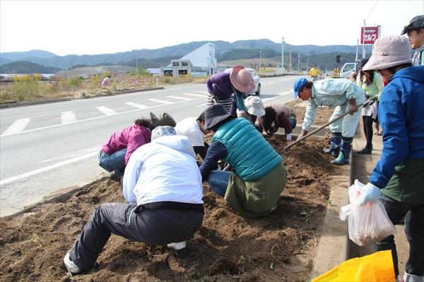 陸前高田フラワーロード 球根の掘り取り
