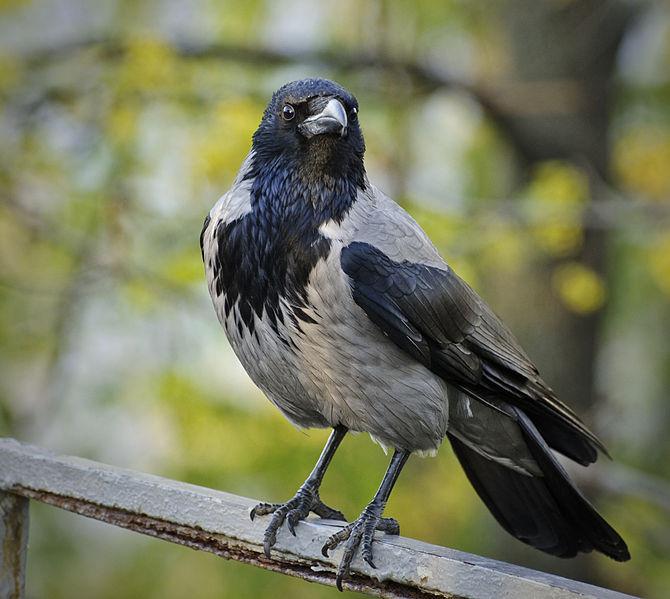 Cornacchia grigia (Corvus coronae cornix)