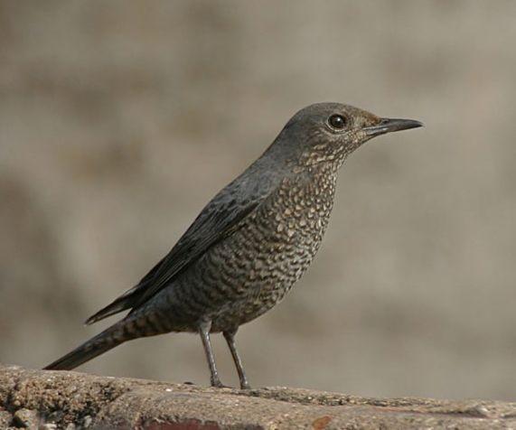 Passero solitario (Monticola solitarius)