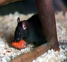 Ratto nero (Rattus rattus)
