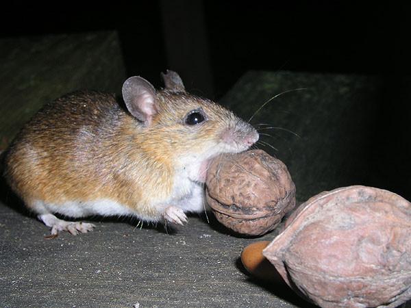 Topo domestico (Apodemus sp.)