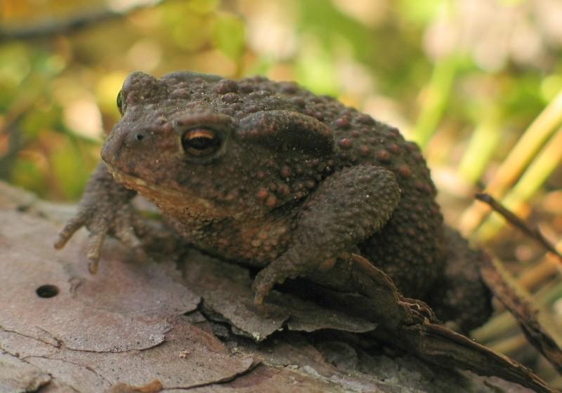 Rospo comune (Bufo bufo spinosus)
