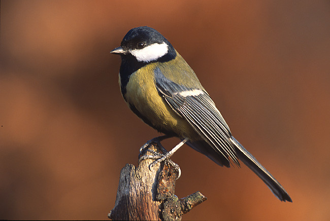 Cinciallegra (Parus major)
